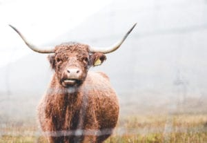 A highland cow with horns wet behind a fence